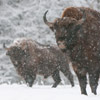 Bison and other winter wildlife