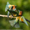 Bee eaters and rollers