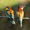 Bee-eaters and Rollers in Bulgaria May 2017