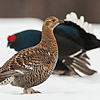 Black Grouse in Finland