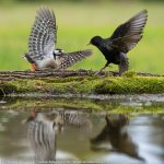 Great Spotted Woodpecker vs Starling